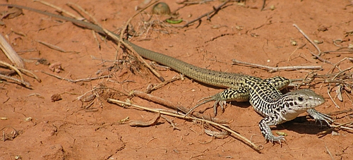 Aspidoscelis tesselata, an all-female lizard species with phenotypic diversity. Caprock Canyons S.P., TX – Summer 2013